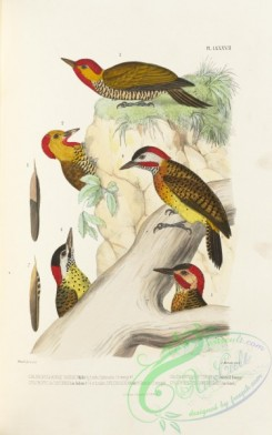 woodpeckers-00194 - chloropicus erythropsis, chloropicus cayennensis