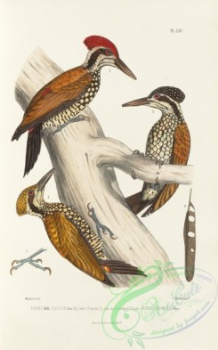 woodpeckers-00221 - indopicus strictus