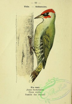 woodpeckers-00249 - Eurasian Green or Iberian Woodpecker