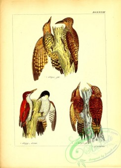 woodpeckers-00598 - 041-picus loricatus, Scarlet-backed Woodpecker, 4500, picus rufus
