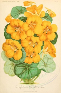 yellow_flowers-00004 - tropaeolum majus [1910x2898]