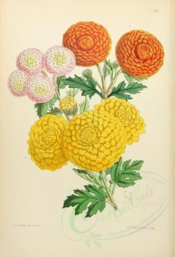 yellow_flowers-00006 - Chrysanthemums Pompon St Michael Countess Madge Wildfire [1960x2876]