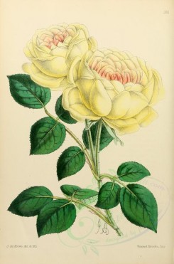 yellow_flowers-00008 - Rose Tea-scented Madame Margottin [1903x2882]