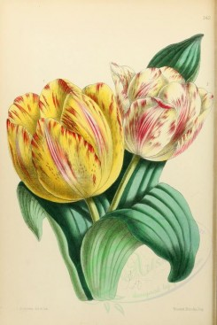 yellow_flowers-00009 - Tulips varieties of early [1942x2903]