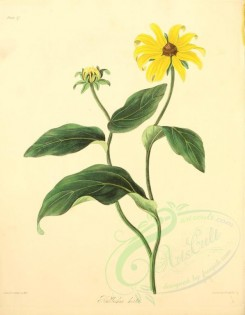 yellow_flowers-00019 - rudbeckia hirta [2550x3279]