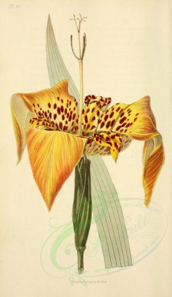 yellow_flowers-00023 - 20-Sharp-petaled Tiger-flower - tigridia oxypetala [2001x3450]