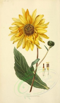 yellow_flowers-00024 - 27-Shagreen-leaved Sunflower - helianthus atrorubens [2001x3450]