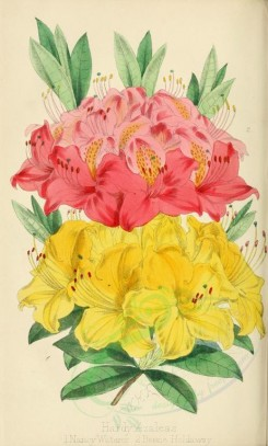 yellow_flowers-00034 - Hardy Azaleas, Nancy Waterer, Bessie Holdaway [2128x3533]