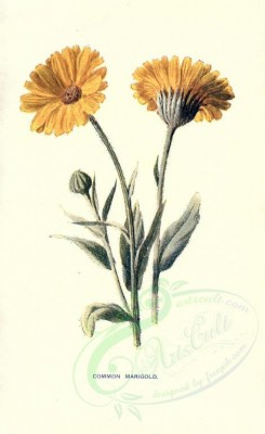 yellow_flowers-00044 - COMMON MARIGOLD [1722x2812]