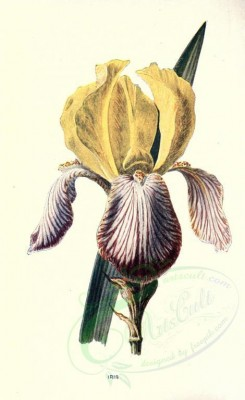 yellow_flowers-00046 - IRIS [1722x2812]