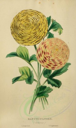 yellow_flowers-00050 - Ranunculus [2333x3898]