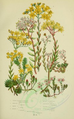 yellow_flowers-00065 - 008-THICK-LEAVED STONECROP, ENGLISH STONECROP, WHITE STONECROP, HAIRY STONECROP, BITING STONECROP, TASTELESS YELLOW STONECROP, CROOKED YELLOW STONECROP, ST VINCENT'S ROCK STONECROP [2224x3587]