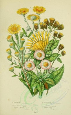 yellow_flowers-00076 - 055-ELECAMPANE, PLOUGHMANS SPIKENARD, GOLDEN SAMPHIRE, COMMON FLEA BANE, SMALL FLEA BANE, COMMON DAISY [2224x3587]