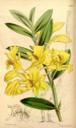 yellow_flowers-00112 - 5303-dendrobium lowii, Mr Low's Dendrobium [2123x3548]