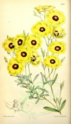 yellow_flowers-00126 - 5621-helianthemum ocymoides, Basil-like Rock-rose [2149x3701]