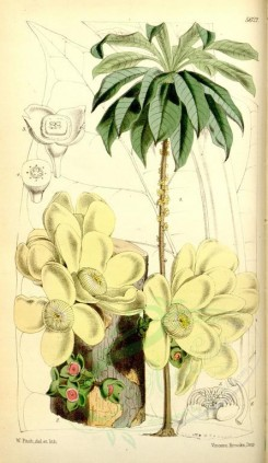 yellow_flowers-00127 - 5622-grias cauliflora, Anchovy Pear [2149x3701]