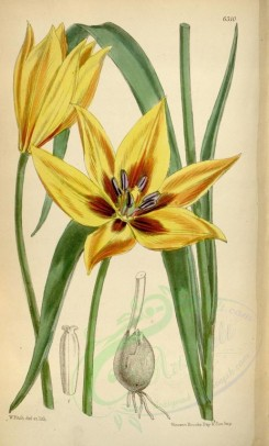 yellow_flowers-00185 - 6310-tulipa orphanidea [2206x3644]