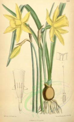 yellow_flowers-00217 - 7012-narcissus pseudo-narcissus johnstoni [2143x3509]