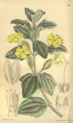 yellow_flowers-00290 - 7969-thunbergia primulina [2099x3508]