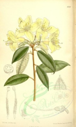 yellow_flowers-00322 - 8400-rhododendron ambiguum [2159x3627]