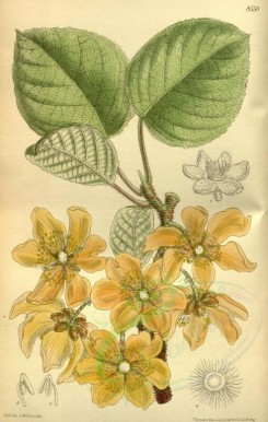 yellow_flowers-00329 - 8538-actinidia chinensis [2158x3398]