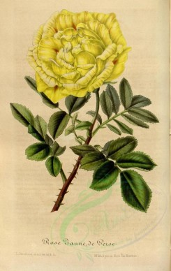 yellow_flowers-00390 - Rose Jaune de Perse [2242x3543]