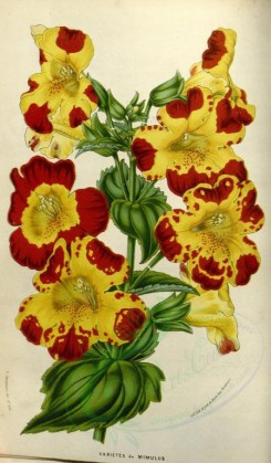 yellow_flowers-00491 - mimulus [2181x3727]