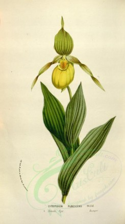 yellow_flowers-00545 - cypripedium pubescens [2067x3670]