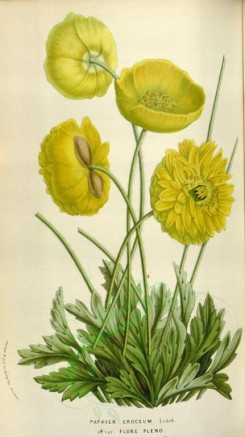 yellow_flowers-00550 - papaver croceum [2061x3667]