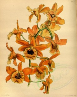 yellow_flowers-00613 - Dark-eyed Fringed Dendrobe, dendrobium fimbriatum oculatum [2900x3671]