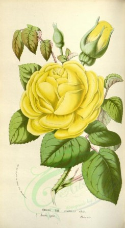 yellow_flowers-00662 - Rose Isabella Gray [2007x3652]