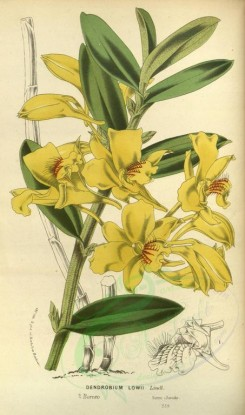 yellow_flowers-00780 - dendrobium lowii [2100x3556]