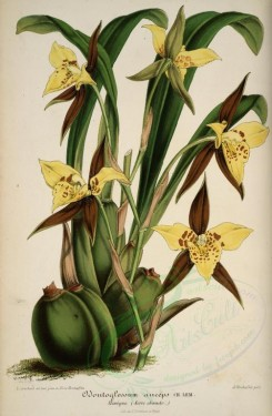 yellow_flowers-00814 - odontoglossum anceps [4014x6140]