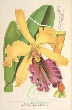 yellow_flowers-00841 - cattleya dowiana [3819x5797]