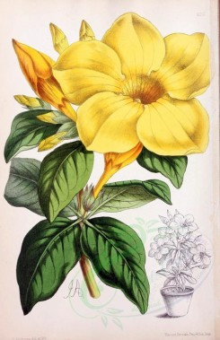 yellow_flowers-00878 - Allemanda Wardleana [1890x2924]